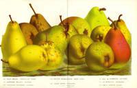 Pears, an assortment including Deux Soeurs, Petite Marguierite, Duc de Nemours. From the Flore des Serres et des Jardins de l'Europe. Gold, green and red fruit print