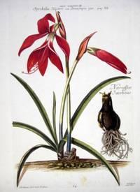 HORTUS NITIDISSIMIS ... : Lillo - Narcissus III; Sprekelia Heisteri/Narcissus Jacobeus (print)