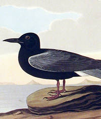 Black Tern. From The Birds of America (Amsterdam Edition)
