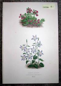 image of Antique Botanical Chromolithograph- Thymus Azureus and Campanula Garganica