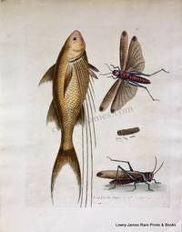 Pl 208 The Mango-fish & The Great Brown Locust