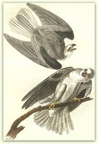 Pl. 16 Black-shouldered Elanus (White-tailed Kite or Black-shouldered Kite)  The Birds of America,
