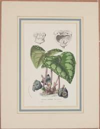 HETEROTROPA ASAROIDES MORR & DENE OFF. LITH. & PICT: IN HORTO VAN HOUTTEANO