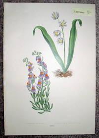 image of Antique Botanical Chromolithograph- Linaria Alpina and Puscheinia Scilloides