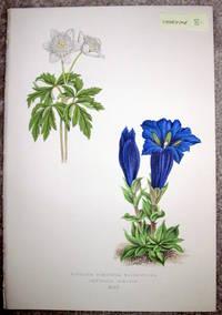 image of Antique Botanical Chromolithograph- Anemone Nemorosa and Flore-Pleno Gentiana Acaulis