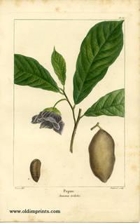 Papaw. Annona triloba