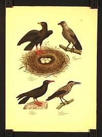 Schneedohle. Corvus pyrrhocorax. Le Choquard. / Dohle. Corous monedula. Le choucas. / Steindohle Corvus graculus. Le coracias. / Nussheher. Corous caryocatacles. Le casse noix