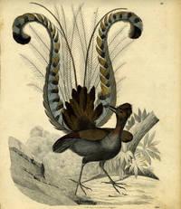 Lyre Bird engraving