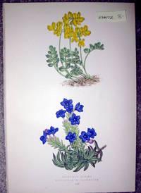 image of Antique Botanical Chromolithograph- Coronilla Minima and Lithospermum Prostratum
