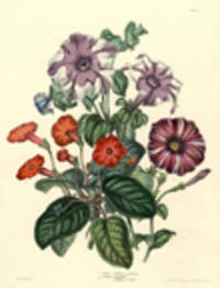 1. Tapina (Achimenes) splendens 2. Petunia Inimitable 3. [Petunia] Surpasse Dr. Andry [Petunias and others, flower bouquet]