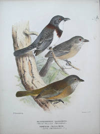 "Proof plate of the White Bellied & Clive Whistler from the ""Birds of Australia"",  Alisterornis Lanioides & Timixos Olivaceus"