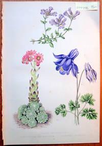 image of Antique Botanical Chromolithograph- Linaria Origanifolia, Semperivium Arachnoideum and Aquilegia Pyrenaica