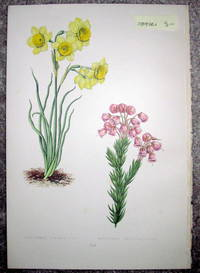 image of Antique Botanical Chromolithograph- Narcissus Juncifolius and Manziesia Empethiformis