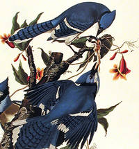 Blue Jay. From The Birds of America (Amsterdam Edition)