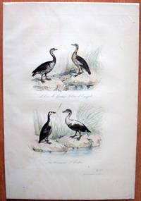 Antique Bird Print. Geese. by Edouard Travies - from Ken Jackson (SKU: 245249)