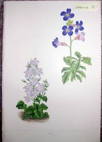 image of Antique Botanical Chromolithograph- Campanula Muralis and Aurbietia Deltoidea Grandiflora