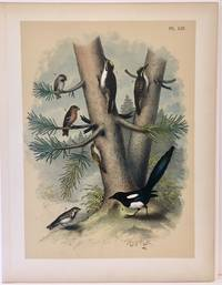Plate LIII Black-backed Three-toed Woodpecker, Banded Three-toed Woodpecker, Hudson\'s Bay Chickadee, White-winged Crossbill, Brown Creeper, American Magpie, Lapland Longspur