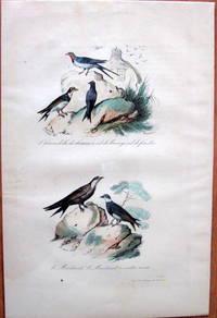 Antique Bird Print. Swallows. by Edouard Travies - from Ken Jackson (SKU: 245251)