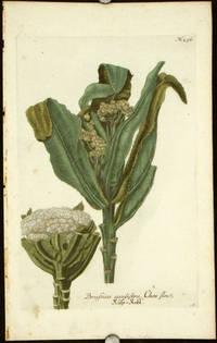 Brassica cauliflora, Chou fleur