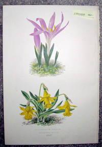 image of Antique Botanical Chromolithograph- Bulbocoduim Vernum and Narcissus Minor