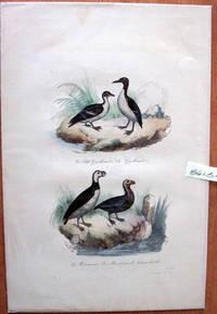 Antique Bird Print. Auks. by Edouard Travies - from Ken Jackson (SKU: 245248)