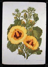 Hibiscus Chrysantha