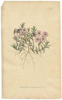 Phlox Subulata.  Awl-Leaved Phlox, or Lychnidea