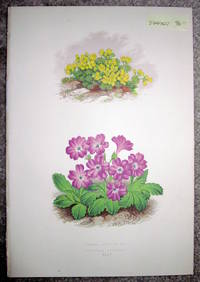 image of Antique Botanical Chromolithograph- Draba Glacialis and Primula Viscosa
