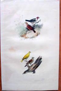 Antique Bird Print. Linottes. by Edouard Travies - from Ken Jackson (SKU: 245250)