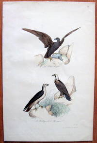 Antique Bird Print. Eagle and Buzzards. by Edouard Travies - from Ken Jackson (SKU: 245252)
