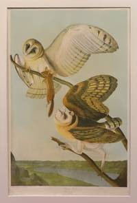 Barn Owl, Strix flammea