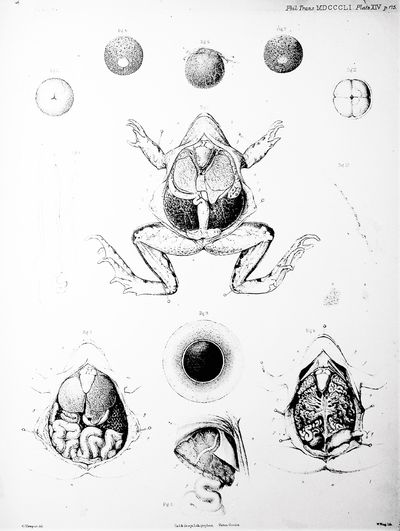 On the Impregnation of the Ovum in...