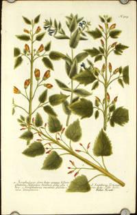 Scrophularia flore luteo annua