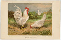 WHITE LEGHORNS. by  Harrison (illus) TEGETMEIER -- COLOR WOOD-ENGRAVINGS) Weir - Ca. 1870. - from oldimprints.com and Biblio.com
