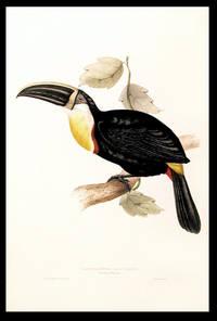 Ramphastos osculans. Osculant Toucan. [Osculated Toucan (Ramphastos osculans)]