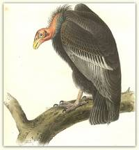 Pl. 1  Californian Turkey Vulture (Californian Condor)