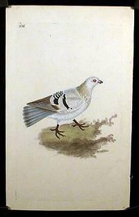Columba Domestica. Domestic Pigeon, Silver Tumbler