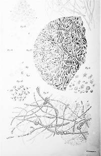 Untersuchungen über die Vegetationsformen von Coccobacteria septica und den Antheil, welchen sie an der Entstehung und Verbreitung der accidentellen Wundkrankheiten haben. Versuch einer wissenschaftlichen Kritik der verschiedenen Methoden antiseptischer Wundbehandlung.
