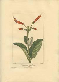 Gesneria bulbosa. Gesnere bulbeuse