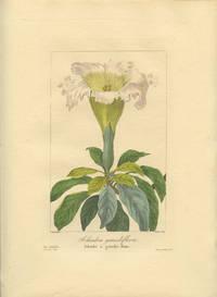 Solandra grandiflora. Solandre a grandes fleurs.
