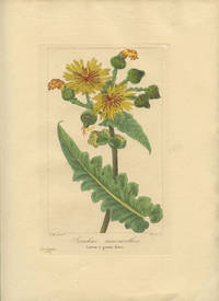 Lonchus macranthos. Laitron a grosses fleurs