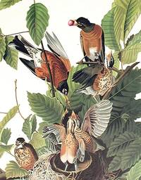 American Robin. From The Birds of America (Amsterdam Edition)