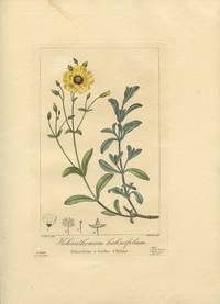 Helianthemum halimifolium. Heliantheme a feuilles d'Halime.