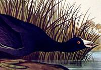 American Coot. From The Birds of America (Amsterdam Edition)