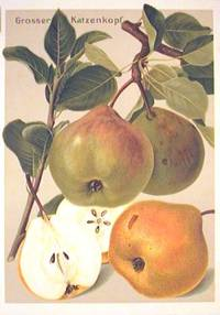Grosser Katzenkopf. (Variety of pear)