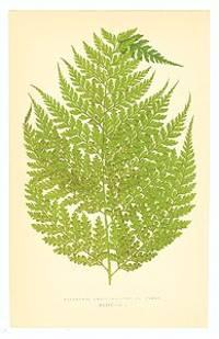 Dicksonia Culcita