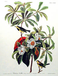 Bachman's Warbler. From The Birds of America (Amsterdam Edition)