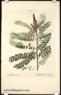 Amorpha fruticosa.  Amorpha faux-Indigo