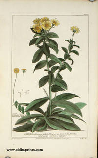 Aster Carolinianus pilosus Conyzae...