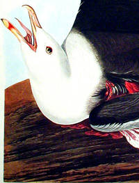 Black-Backed Gull. From The Birds of America (Amsterdam Edition)